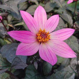 Dahlia x hybrida 'Happy days' (Geogin, mørkt løv)