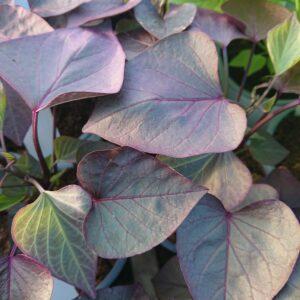 Ipomoea batatas 'Treasure Island Kakura' (Sødkartoffel)