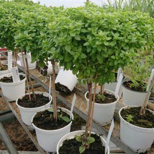 Ocimum 'Basil Tree' (Basilikumstræ)