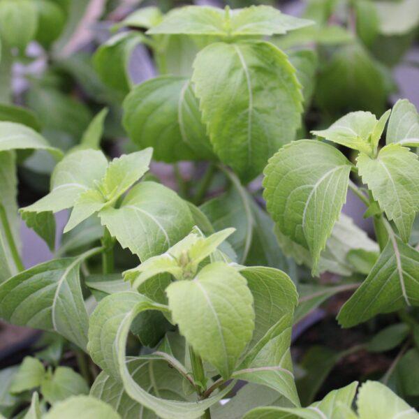 Ocimum tenuifolium 'Pagira' (Basilikum)