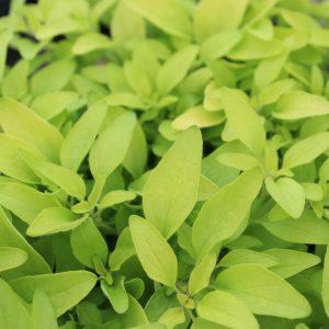 Origanum vulgare 'Aureum Gold' (Gylden Oregano)