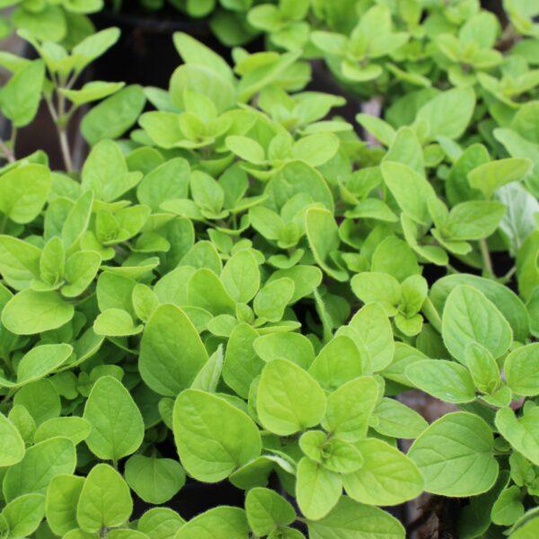 Origanum vulgare 'Aureum Green' (Oregano)