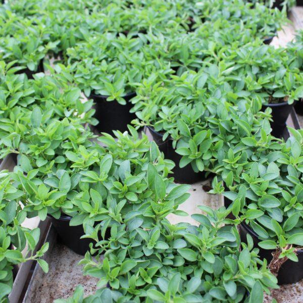 Origanum vulgare 'Compactum' (Kompakt Oregano)