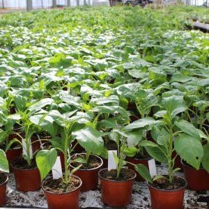 Peberplanter