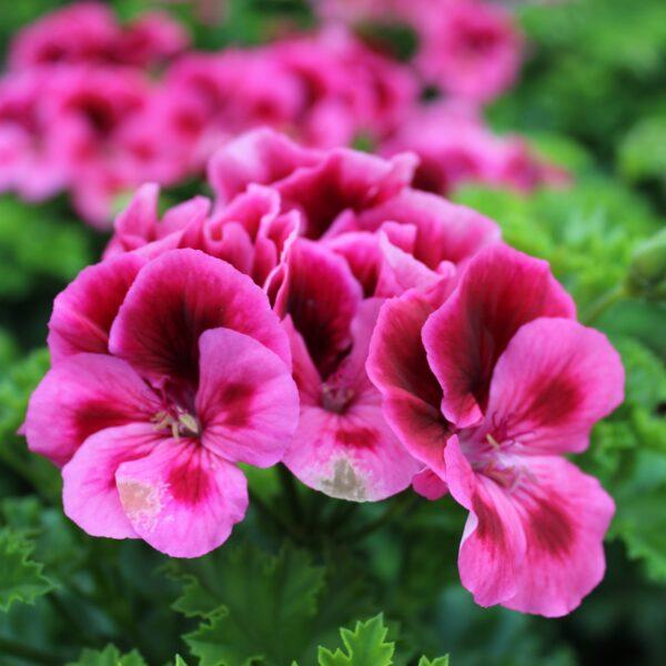 Pelargonium x grandiflorum (Engelsk Pelargonie)