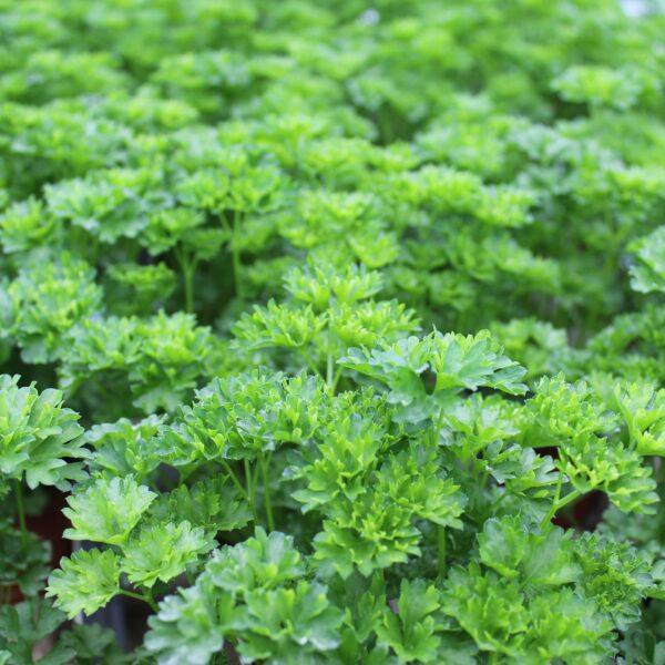 Petroselinum crispum (Kruspersille)