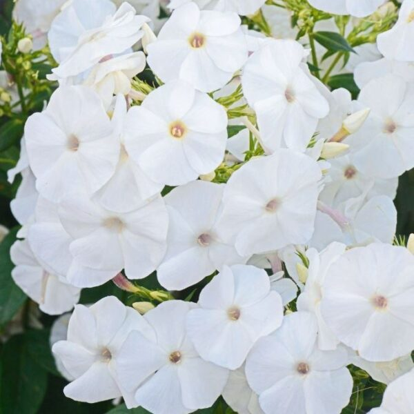 Phlox x paniculata 'Adessa White' (Høstfloks)