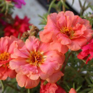 Portulaca grandiflora (Portulak)
