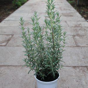 Rosmarinus officinalis 'Blue Winter' (Rosmarin)