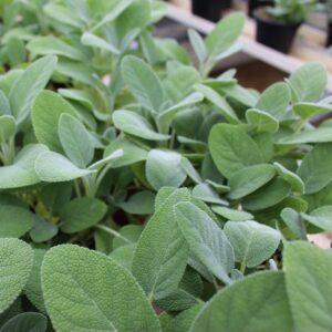 Salvia officinalis (Salvie)