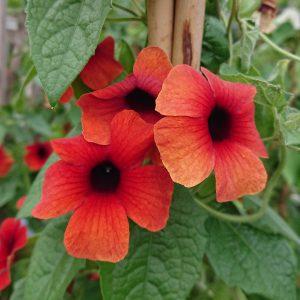 Tunbergia alata (Susanne med det sorte øje)