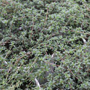 Thymus Herba Barona (Kommen-Timian)
