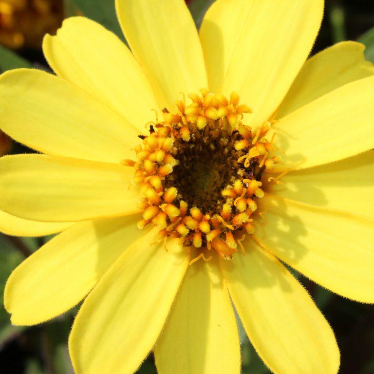 Zinnia angustifolia (Frøkenhat)