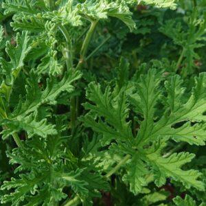 Pelargonium 'Dr. Westerlund' (Duft Pelargonie)