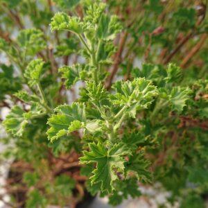 Pelargonium 'Mosquitofighter'