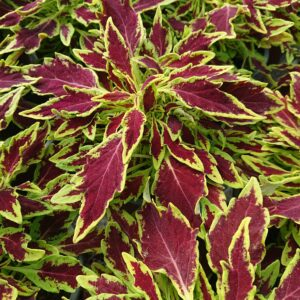 Coleus x blumei (Paletblad)