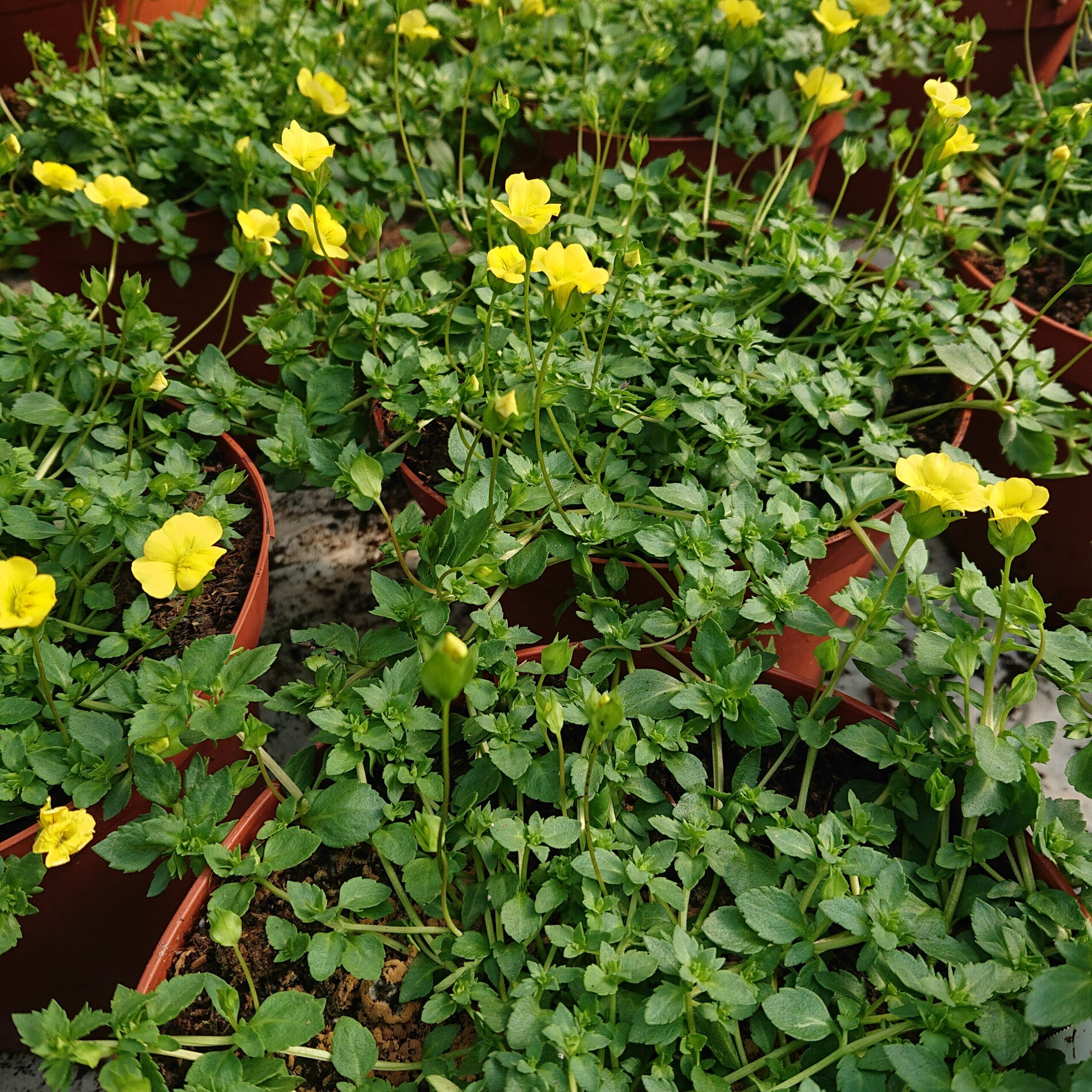 Macardonia 'Garden Frecles'