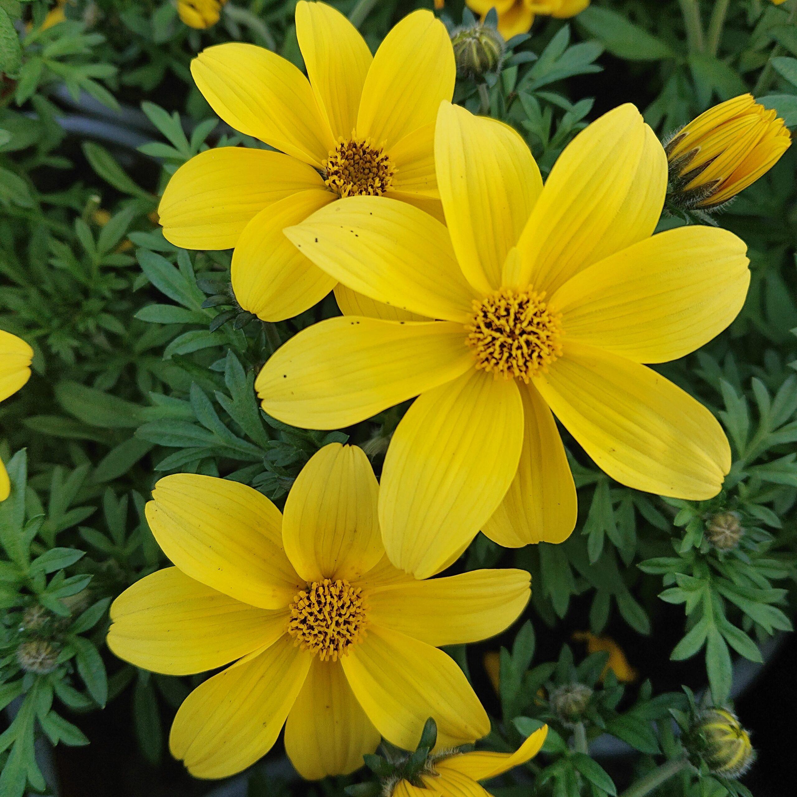 Bidens ferulifolia (Bidens)